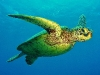 tiny-bubbles-scuba-diving-maui-turtle-in-flight