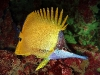 tiny-bubbles-scuba-diving-maui-long-nose -butterfly-fish