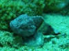 tiny-bubbles-scuba-diving-maui-mini-scorpionfish
