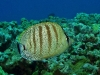 tiny-bubbles-scuba-diving-maui-multiband-butterflyfish