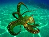 tiny-bubbles-scuba-diving-maui-octopus-swimming