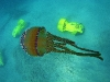 tiny-bubbles-scuba-diving-maui-pelagic-jellyfish