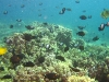 tiny-bubbles-scuba-diving-maui-fish-schooling