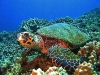 tiny-bubbles-scuba-diving-maui-hawksbill-turtle