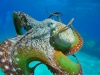 tiny-bubbles-scuba-diving-maui-octopus-closeup
