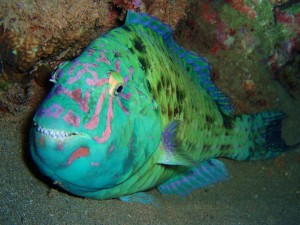 Parrotfish on a Night dive at Kapalua Bay in Maui with Tiny Bubbles Scuba