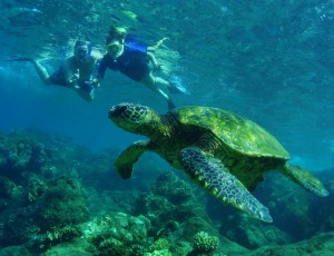 Green Sea Turtle with Snorkelers