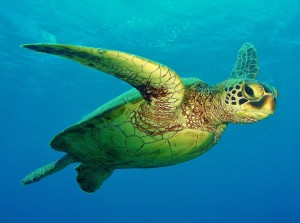 Hawaiian Green Sea Turtle with Tiny Bubbles Scuba in Maui