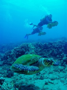 Scooter Divers with Hawksbill Turtle and Tiny Bubbles Scuba in Maui at Honokowai Beach...