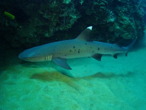 White Tip Reef Shark with Tiny Bubbles Scuba