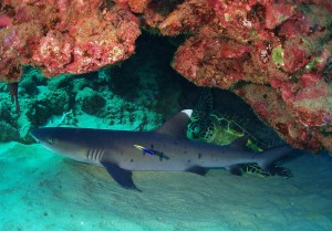 White Tip Reef Shark and Hawaiian Green Sea Turtle with Tiny Bubbles Scuba