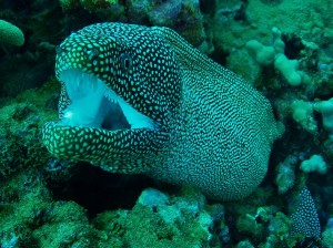 White Mouth Moray Eel with Tiny Bubbles Scuba