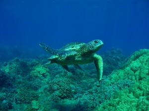 Hawaiian Green Sea Turtle at Olowalu , Maui with Tiny Bubbles Scuba