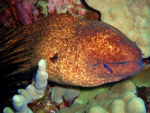 Yellow Margin Moray Eel and Cleaner Wrasse in Maui with Tiny Bubbles Scuba