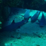 White Tip Reef Sharks at Mala Ramp