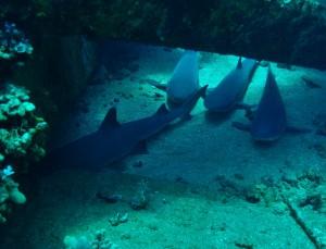 White Tip Reef Sharks at Mala Ramp