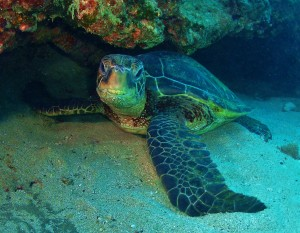 Hawaiian Green Sea Turtle at Mala with Tiny Bubbles Scuba