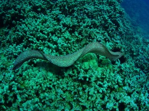 White Mouth Moray Eel on the go ...