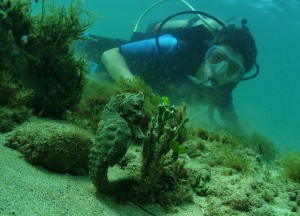 Hawaiian Sea Horse and Diver with Tiny Bubbles Scuba