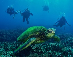 Hawaiian Green Sea Turtle and Divers with Tiny Bubbles Scuba