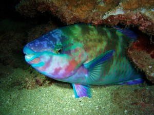 Palenose Parrotfish with Tiny Bubbles Scuba