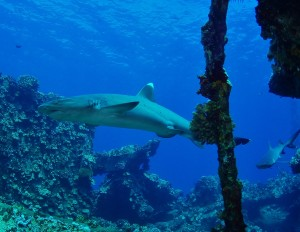 White Tip Reef Sharks at Mala Ramp with Tiny Bubbles Scuba