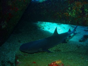White Tip Reef Shark at Mala Ramp with Tiny Bubbles Scuba