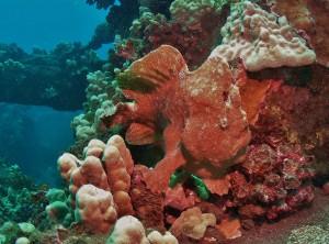 Frogfish at Mala Ramp, Maui with Tiny Bubbles Scuba