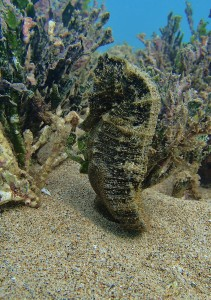 "Hawaiian Sea Horse - ""Junior"""