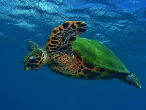Hawaiian Hawksbill Sea Turtle in flight at Honokowai Beach, Maui with Tiny Bubbles Scuba