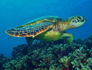 Hawaiian Green Sea Turtle on da reef
