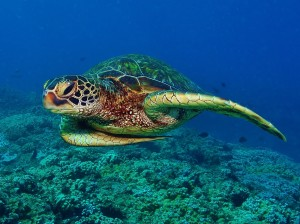 Green Sea Turtle Hula with Tiny Bubbles Scuba