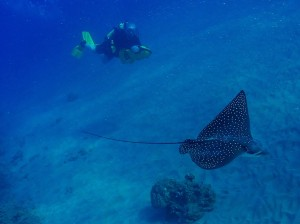 Spotted Eagle Ray and Scooter Diver with Tiny Bubbles Scuba