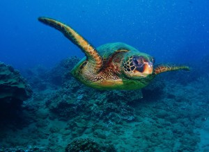 Hawaiian Green Sea Turtle comin' at ya with Tiny Bubbles Scuba