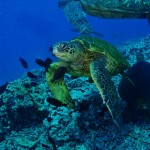 Hawaiian Green Sea Turtles at a cleaning station with Tiny Bubbles Scuba