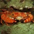 Red Swimming Crab off Honokowai Beach, Maui (Night Dive)