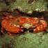Red Swimming Crab off Honokowai Beach, Maui (Night Dive)