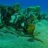 Yellow Sea Horse (female) with Tiny Bubbles Scuba