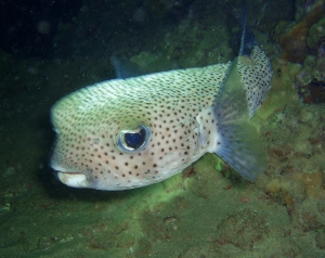 Porcupine Puffer with Tiny Bubbles Scuba