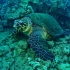 Hawksbill Sea Turtle with Tiny Bubbles Scuba