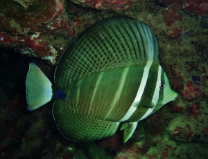 Sailfin Tang with Tiny Bubbles Scuba