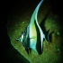 Moorish Idol on a Night Dive with Tiny Bubbles Scuba