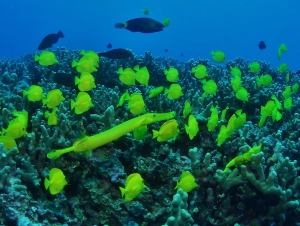 Yellow Trumpet Fish with Yellow Tangs with Tiny Bubbles Scuba