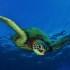 Hawaiian Green Sea Turtle with Tiny Bubbles Scuba