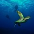 Hawaiian Green Sea Turtle with Tiny Bubbles Scuba