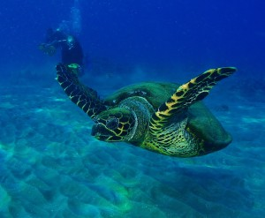 Hawksbill Turtle on the move with Tiny Bubbles Scuba