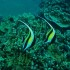 Moorish Idols at Honokowai Beach, Maui with Tiny Bubbles Scuba