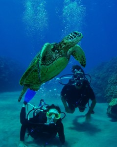 Divers and Hawaiian Green Sea Turtle