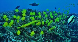 Yellow Tang (Surgeonfish) and Yellow Trumpetfish