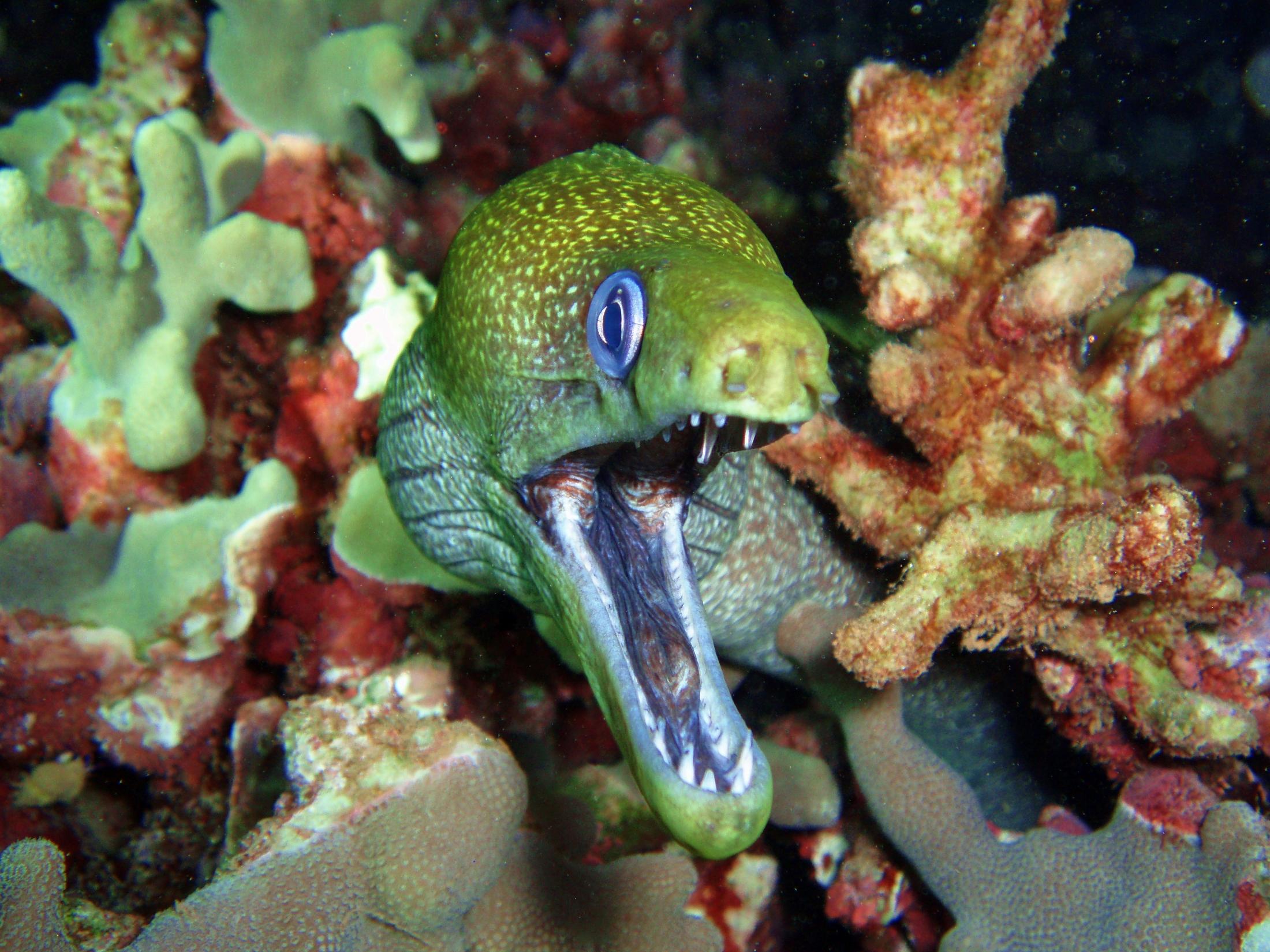 Undulate Moray Eel on a Night Dive